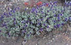 Salvia dorrii - Image: Purple sage Salvia dorii plant