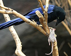 Purplish-backed Jay eating.jpg
