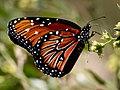 Queen Butterfly-27527-1.jpg