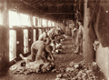 Queensland State Archives 2470 Sheep Shearing at Yandilla 1898.png