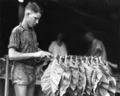 Queensland State Archives 4206 Stringing tobacco leaf c 1938.png