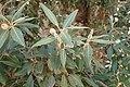 Quercus ilex kz07.jpg