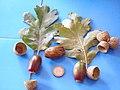 Quercus pyrenaica var.5 2011-9-18 SierraMadrona.jpg