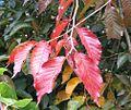 RN Ulmus japonica Jacan (hilliers arboretum) autumn foliage.JPG