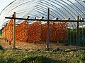 Racks for Japanese persimmon fruits drying in Matsuume, Yamato, Saga.jpg