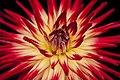 Radiant yellow and red flower (Unsplash).jpg