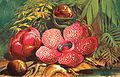 Rafflesia-arnoldii.jpg
