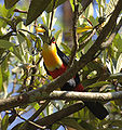 Ramphastos dicolorus -eating fruit in tree-6.jpg