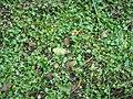 Ranunculus gmelinii 5-eheep (5097960436).jpg