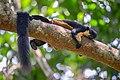 Ratufa bicolor, Black giant squirrel - Kaeng Krachan National Park (49192401008).jpg