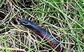 Red-bellied Black Snake (Pseudechis porphyriacus) (8398228396).jpg