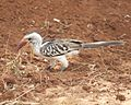 Red-billed Hornbill (Tockus erythrorhynchus) 2.jpg