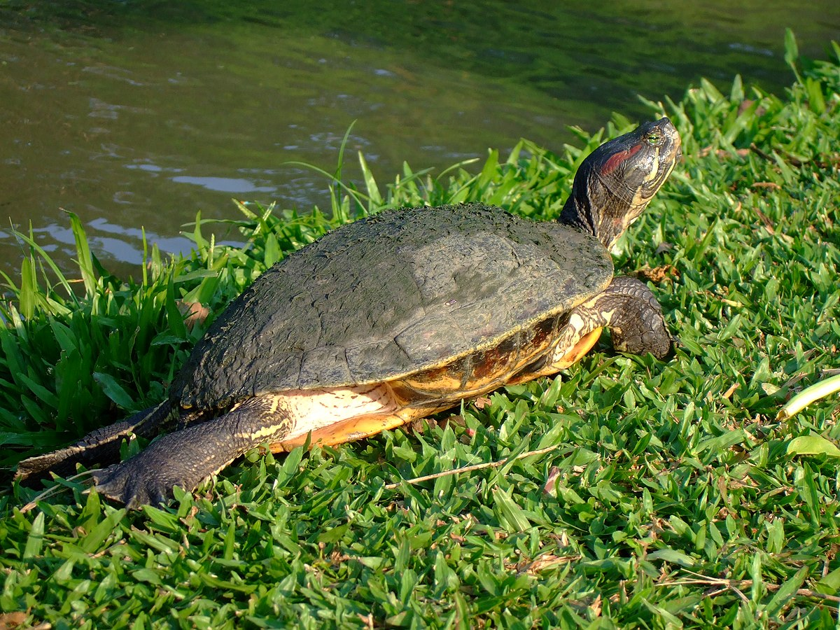 Pond slider wikipedia for Trachemys scripta
