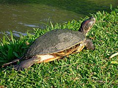 Red-eared Slider Thailand.JPG