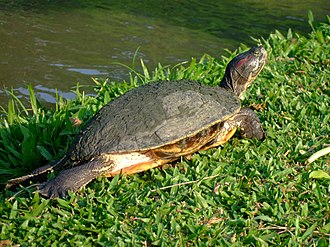 Pond slider - Trachemys scripta elegans, the red-eared slider