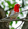 Red-headed Weaver (Anaplectes melanotis) (8390429318).jpg