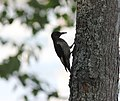 Red-headed Woodpecker (juvenile), Higgins Lake, MI (7921096644).jpg
