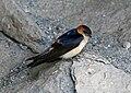 Red-rumped Swallow (Cecropis daurica) (19351803319).jpg
