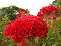 Red Cockscomb flowers.JPG