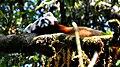Red Panda, soaking up the sun.jpg