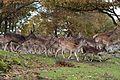 Red deer & Fallow deer in Sweden 2010-10-13 001.jpg
