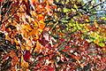 Red leaf during the autumn season.JPG