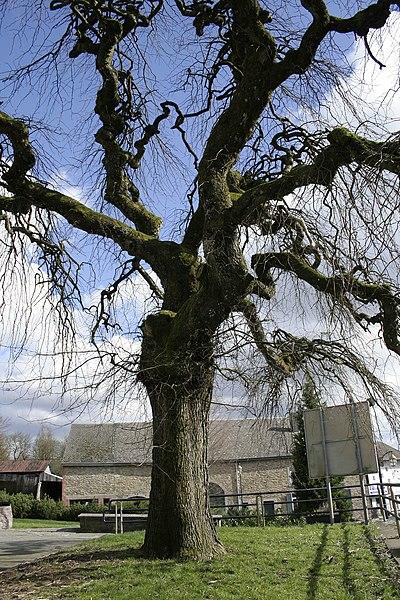 Glabra elm - Ulmus glabra (Ulmus glabra camperdownii).