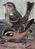 Reed-smiths-longspur.png