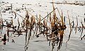 Reeds (2638740646).jpg