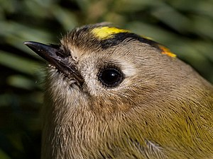 Goldcrest - Nominate R. r. regulus in Belgium. The goldcrest has a bright crest and a relatively plain face. A little orange is seen at the back of the crest, indicating a male.
