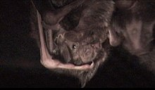The image depicts two common vampire bats sharing food with one another.