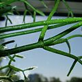Rhipsalis cereuscula10.jpg