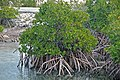 Rhizophora mangle (red mangrove) (San Salvador Island, Bahamas) 1 (15784499775).jpg
