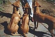 Weimaraner Good Guard Dogs