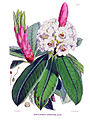 Rhododendron argenteum (Hooker).jpg