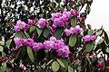 Rhododendron campanulatum AJTJ.jpg