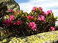 Rhododendron ferrugineum Valais3.JPG