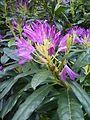 Rhododendron ponticum Haldon Forest.jpg