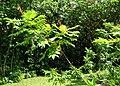 Rhus sandwicensis (5210103410).jpg