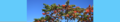 Rhus typhina. Reader.png