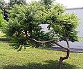 Rhus typhina 'Laciniata' habitus.jpg