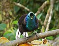 Ribbon-tailed Astrapia male. (Astrapia mayeri) (48940343383).jpg