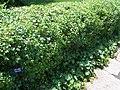 Ribes alpinum MN 2007.JPG