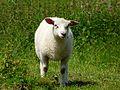 Rilhac-Lastours agneau.jpg
