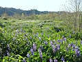 Rio de Los Angeles State Park lupines.jpg