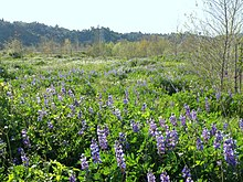 Rio de Los Angeles State Park lupines