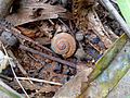 River snail-shell at Kambalakonda Wildlife Sanctuary 01.JPG