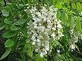 Robinia-pseudoacacia-12-V-2007-6025.jpg