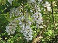 Robinia (Robinia pseudoacacia).jpg
