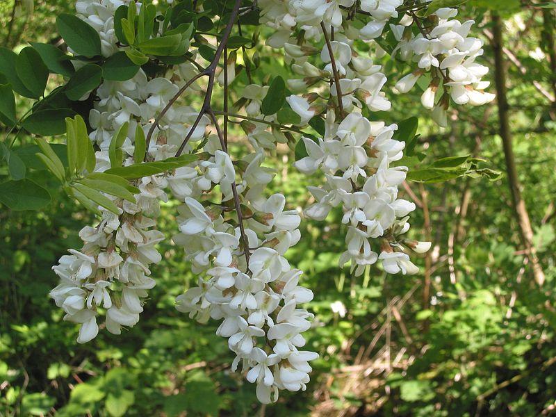 Acacia - Simple English Wikipedia, the free encyclopedia